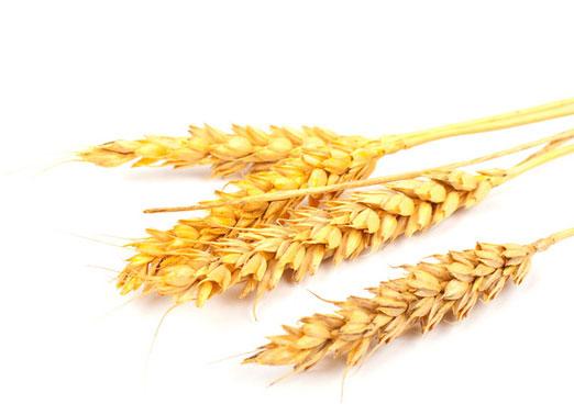 Сегодня рынок пшеницы укрепился на техническом факторе